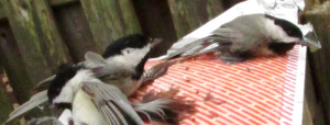 chickadees caught in trap